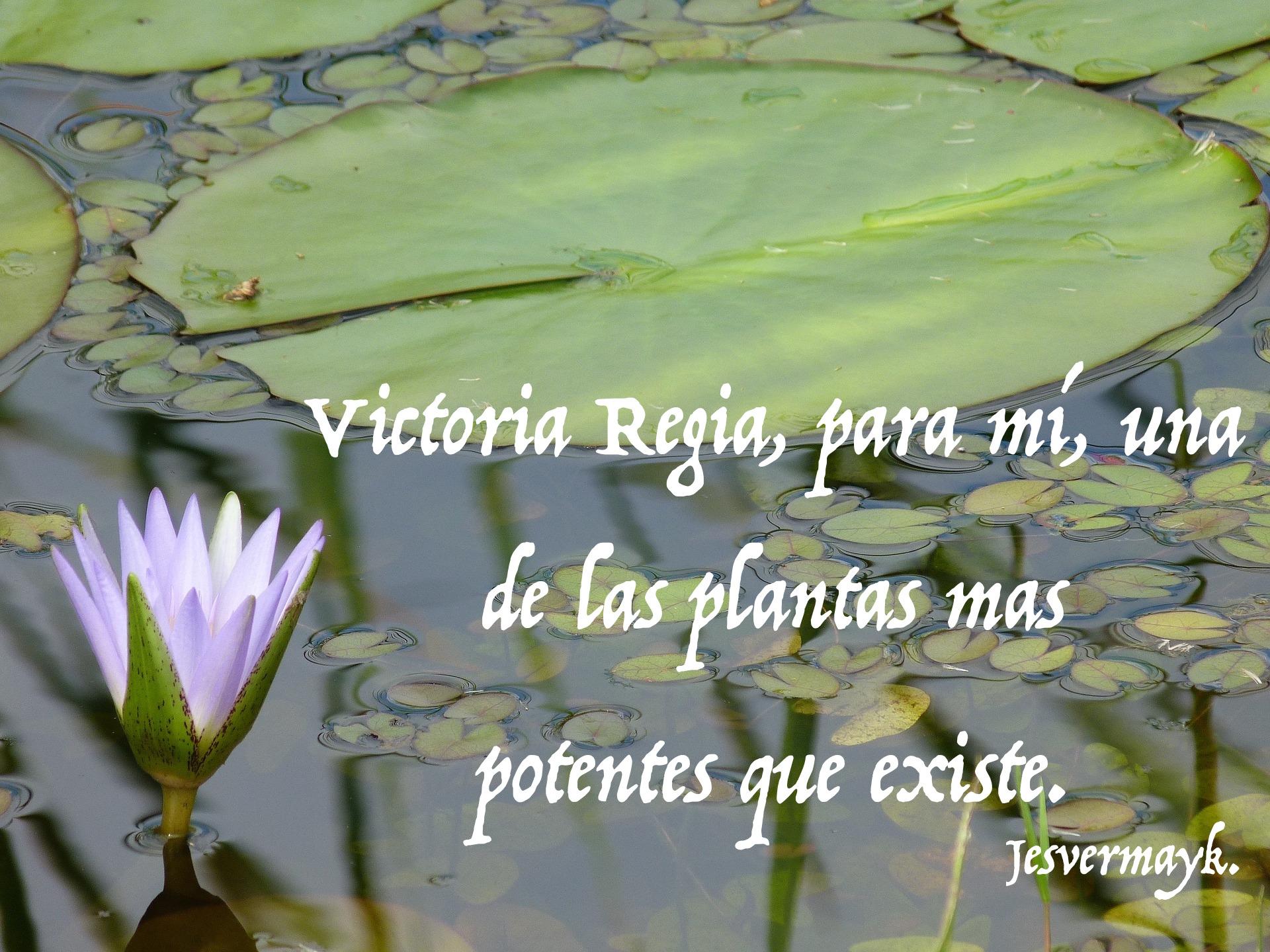 victoria-regia-563738_1920